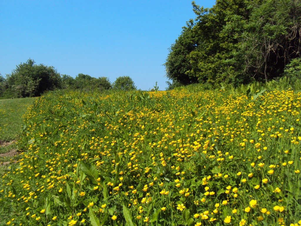 Buttercup Meadow Robinswood Hill Gloucester