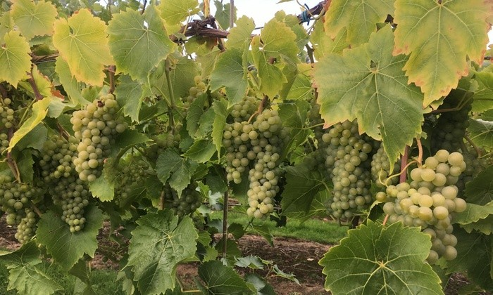 Grapes at Chipping Campden Vineyard