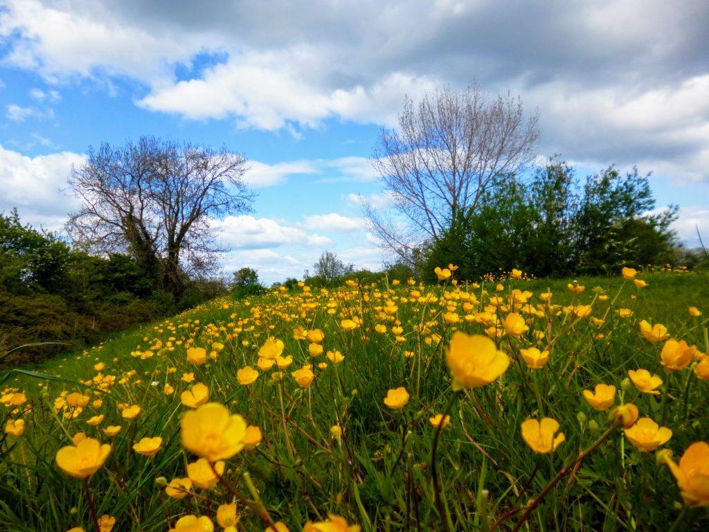 Buttercup Meadow Elmore