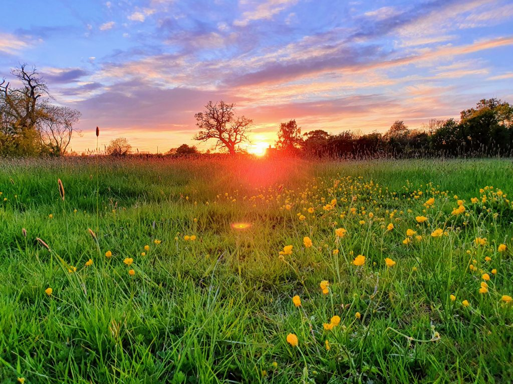 Buttercups at sunset in Gloucestershire